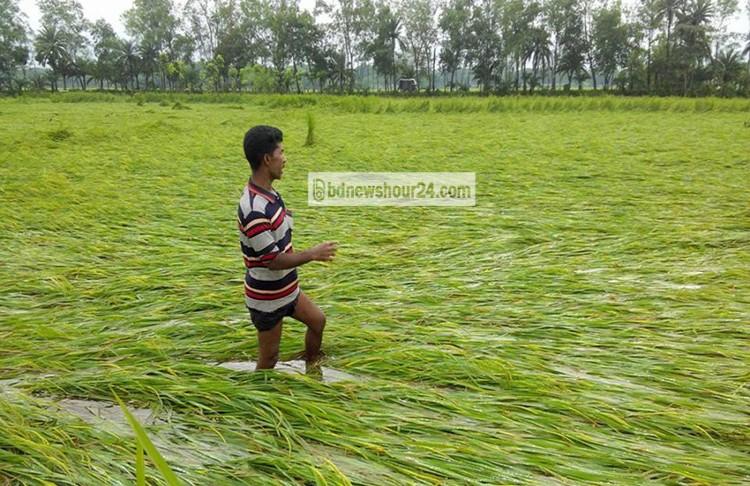 ঝিনাইদহে ভারী বর্ষণে আমন ধানের ব্যাপক ক্ষতি